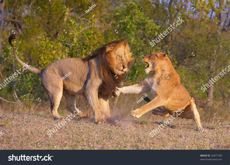 african mating ritualsvideos lion panthera leo and lioness fighting as part of mating