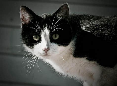 imagenes en blanco y negro gatitos 3 gatos de dos colores negro y blanco 3 a gallery on