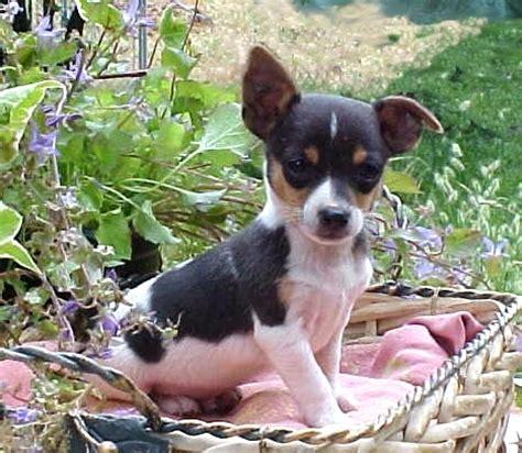 Dekker Fox Mini By Nimatumotoshop puppies for sale rat terrier including decker rat