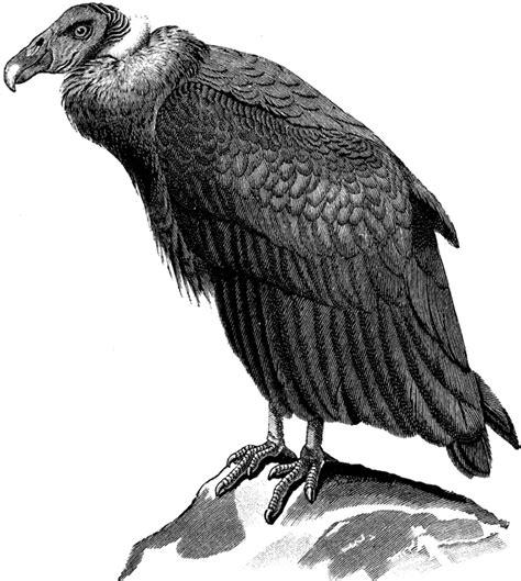 condor clipart
