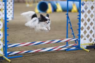 Agility2 300x200 how dog agility can help you with dog obedience