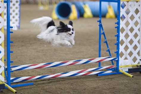 agility course how agility can help you with obedience thedogtrainingsecret