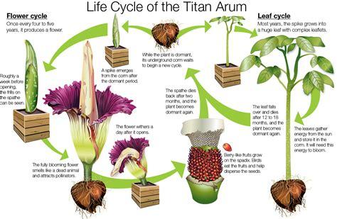 corpse flower titan arum faq chicago botanic garden