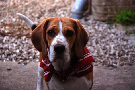 beagle puppies for sale in colorado beagle puppies for sale cambridge cambridgeshire pets4homes