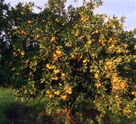 when do satsuma trees produce fruit heavy rains affect citrus harvest 171 earl s organic produce
