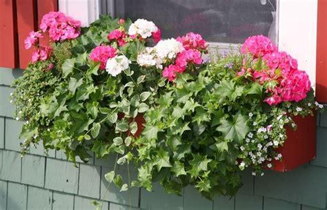 piante da fiore in vaso piante vaso piante da terrazzo migliori piante da vaso
