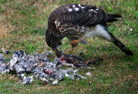do sparrow hawks really eat sparrow s flickr photo
