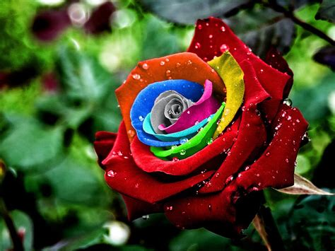 colorful rose wallpaper download wallpapers colorful rose wallpapers