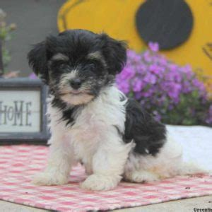 havanese maryland havanese puppies for sale in pa md ny nj