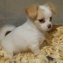 cheris preferred puppies cheri s preferred puppies 14 photos pet shops 105 st hamilton oh