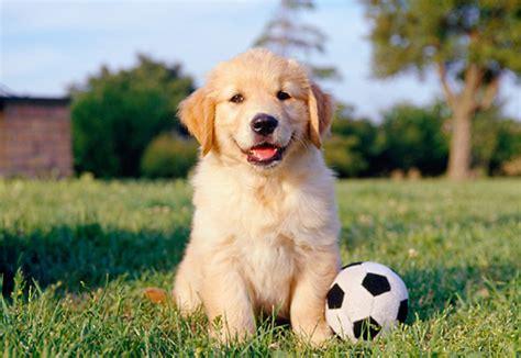 cachorros golden retriever cachorros golden retriever assistedlivingcares