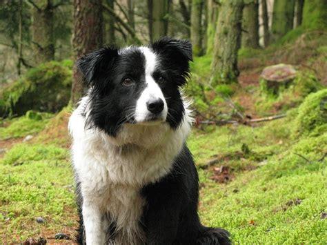 border collie border collie razas perros