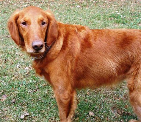 brown golden retriever puppies brown skinned golden retriever history