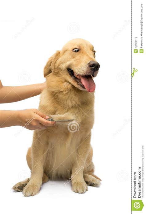 golden retriever brushing tips brushing hair brushing fur stock photo image 42433416