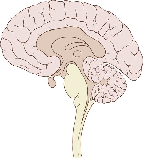 human brain sagittal section fichier brain human sagittal section svg wikip 233 dia