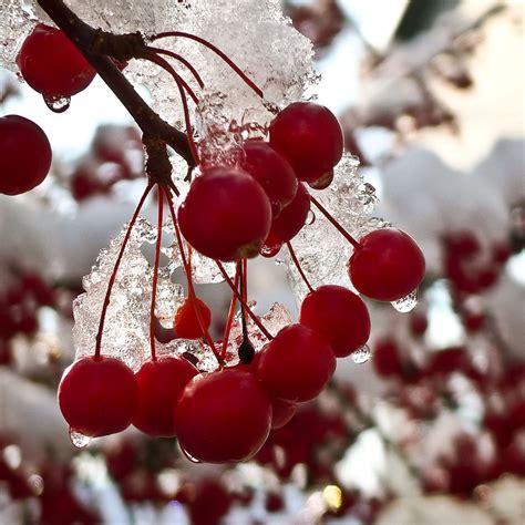 winter berries wallpaper wallpapersafari