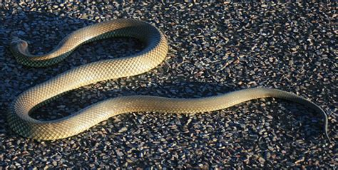 Light Brown Snake by Brown Snake Flickr Photo