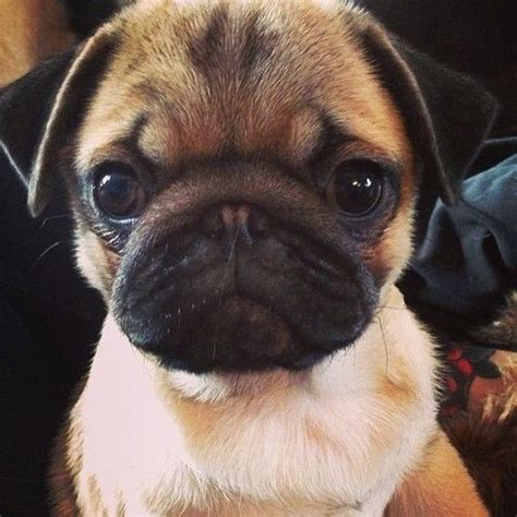 all things pug 17 best images about all things pug on pug brindle pug and pug