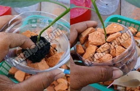Bibit Hidroponik 16 tahap mudah menanam cabai hidroponik di botol bekas