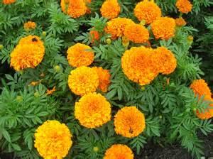 grow marigold gardening marigold growing marigold edible
