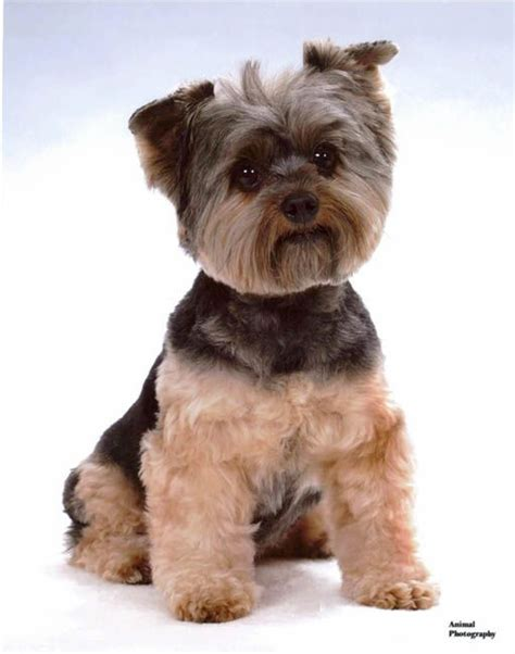 miniature yorkie haircuts 1000 ideas about yorkie hairstyles on yorkie terriers and terriers