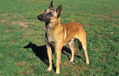 belgium dogs belgian malinois breed information