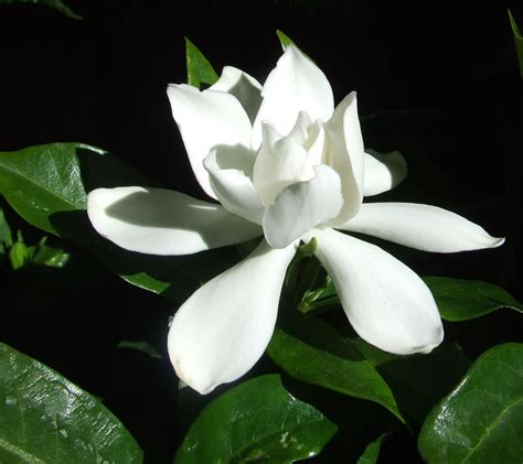gardenias flower plants flowers 187 cape jasmine