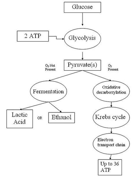 flowchart chapter 8 photosynthesis graphic organizer answers the cellular respiration process tutorvista