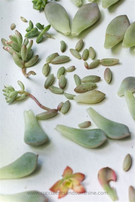 How To Propagate Succulent Leaf Cuttings With Near - tips for propagating succulents from leaves succulents
