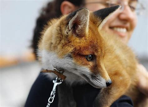 how cute pet foxes steal your heart 1000 ideas about pet fox on foxes fox and baby foxes