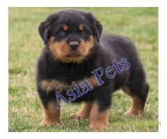 rottweiler puppies price in pune rottweiler puppies for sale in india rottweiler puppy price in india