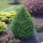 home depot trees and shrubs shrubs garden plants flowers garden center the