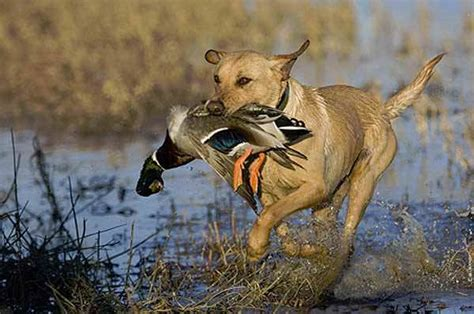 goose boat dog minnesota 2016 fall duck and goose seasons approaching