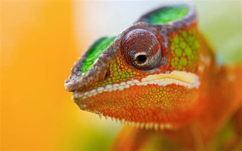 colorful chameleon colorful chameleon wallpaper 2560x1600 536 wallpaperup