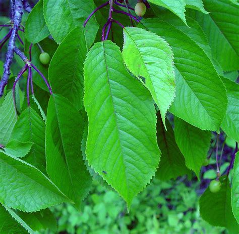 prunus cerasus sour cherry go botany