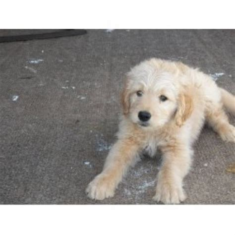 goldendoodle puppy rescue pa goldendoodle rescue in pa breeds picture