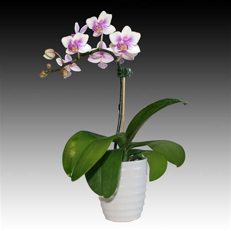 indoor zen small phalaenopsis white pink orchid flower