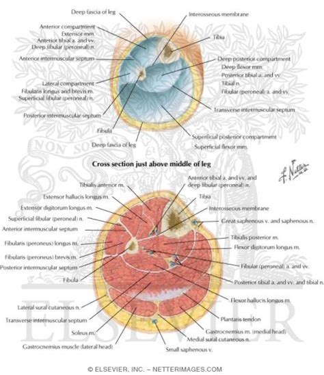 cross section of leg fascial compartments of leg leg cross sections and