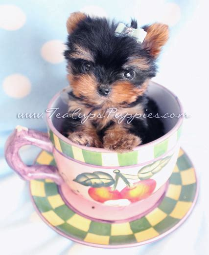 yorkie vs teacup yorkie miniature teacup terrier puppies dogs in our photo