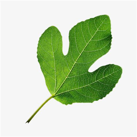 decorative plants png leaf leaves plant decorative material png image and