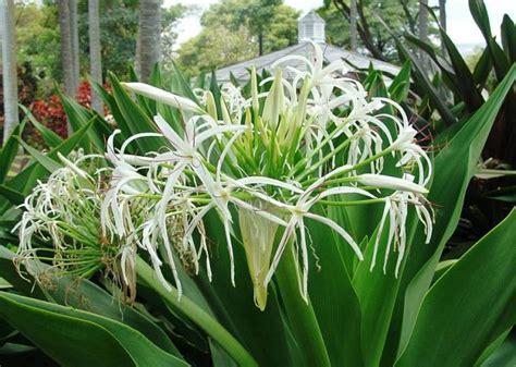 wallpaper bunga bakung bakung ciri tanaman kandungan zat khasiat manfaat dan