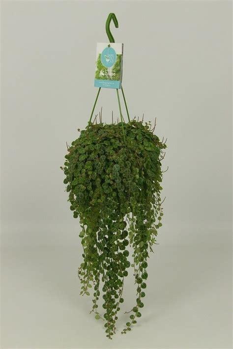 peperomia prostrata pcm hcm plant wholesale floraccess