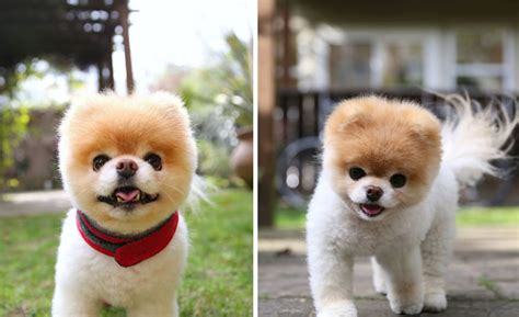 boo the breed most adorable breeds