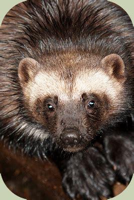 Baby Does T4 Shoxer 267 Lf recognizing wolverine habitat