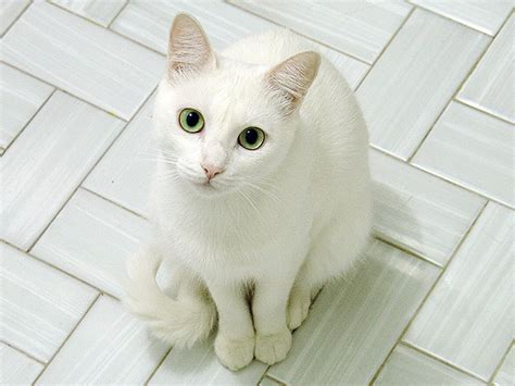 White Cat white cat blue breed cats types