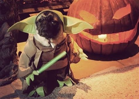 pug dressed up as yoda rumor has it it s friday raising rockstars