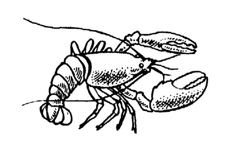 Drawing B W by Best Lobster Outline 24053 Clipartion