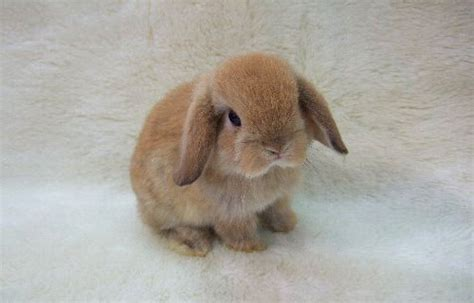 bunnies for sale near me 20 lop bunny rabbits near indianapolis indiana