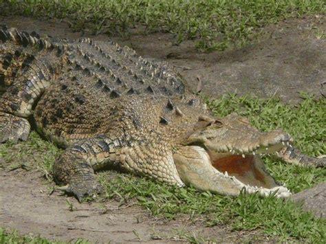 Saltwater Crocodile | The Biggest Animals Kingdom
