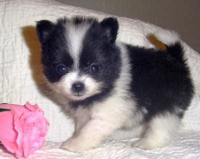pomeranian service pomeranian breed pictures facts petmd
